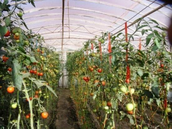 подвязка помидор вертикальной шпалерой