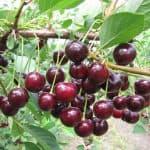 Урожайная вишня сорта Харитоновская: описание, выращивание