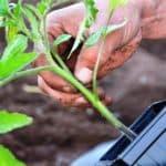 Подкормка помидор после высадки в грунт дрожжами: в чем преимущества?