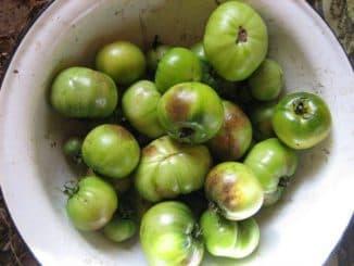 трихопол для рассады помидор