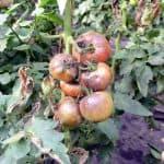 Фитофтора на помидорах: как нужно бороться