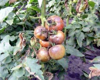 борьба с фитофторой на помидорах