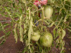 обработка фитофторы на помидорах