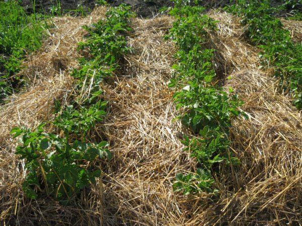 мульчирование почвы картофеля
