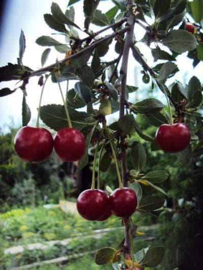шакировская вишня