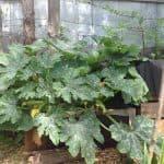 Как посадить и вырастить тыкву на компостной куче