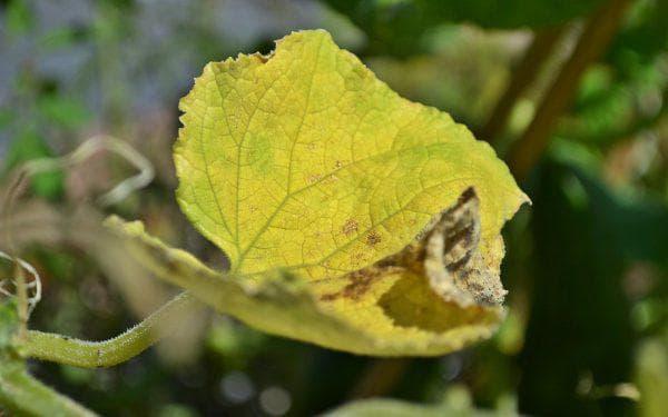 Почему желтеют и сохнут листья у огурцов на подоконнике