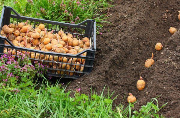 посадочный картофель