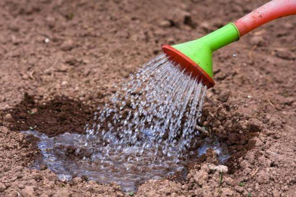 полив фасоли