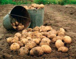 чернозём для картофеля