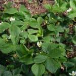 Чем подкормить, полить землянику во время цветения
