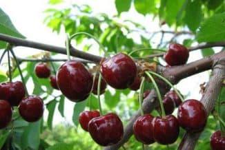 вишня Тургеневка в саду