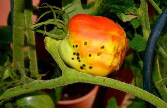 грибковые инфекции томатов