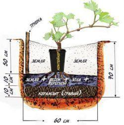 как правильно посадить виноград весной саженцами