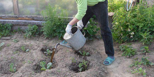 удобрение капусты в саду