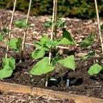 Как правильно посадить фасоль в открытый грунт