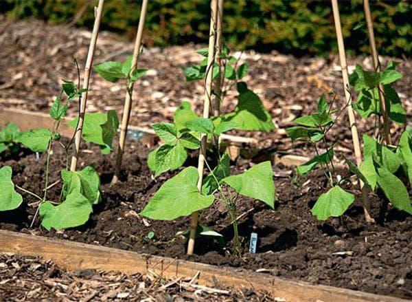 Как посадить фасоль: посадка и уход в открытом грунте и как правильно выращивать фасоль