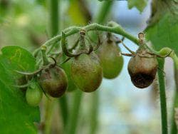 табак от фитофторы на помидорах