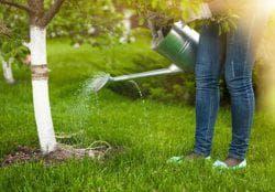 полив дерева вишни