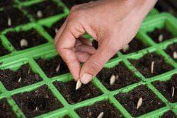как посадить кабачки семенами в открытый грунт