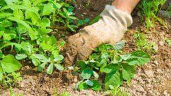 вырывают корни сорняка