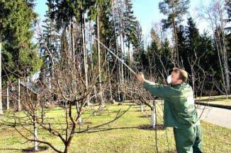 обработка груши от парши весной