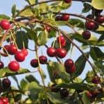 Новый сорт вишни Молодежная: подробное описание