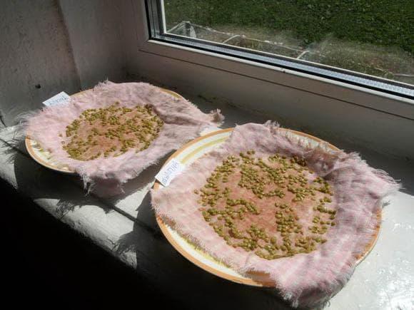 подготовка семян к посадке