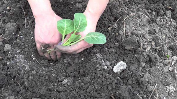 высадка раннего сорта капусты