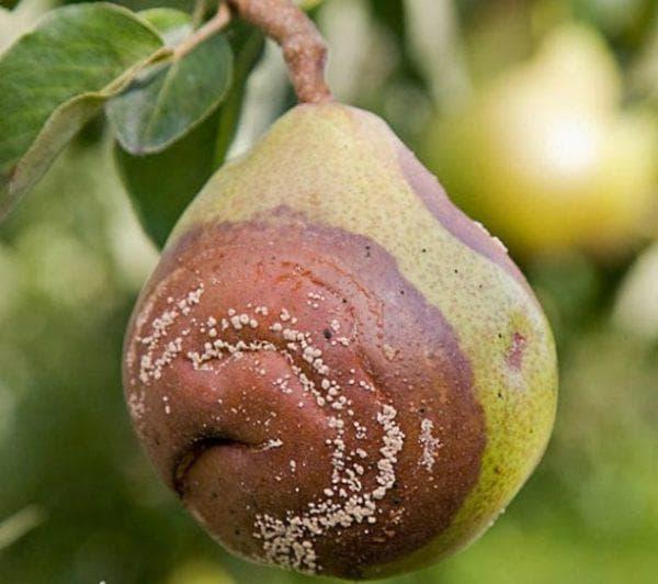плодовая гниль у груши