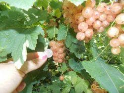 выращивание белой смородины