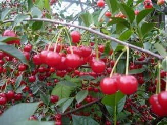 вишня брусницына описание сорта