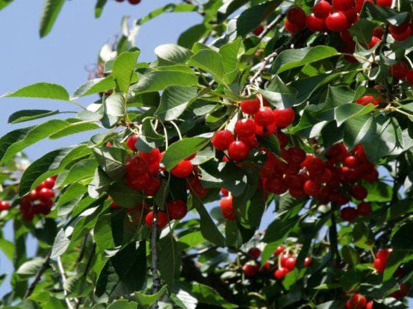 вишня брусницына