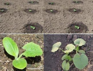 как сеять кабачки в открытый грунт семенами