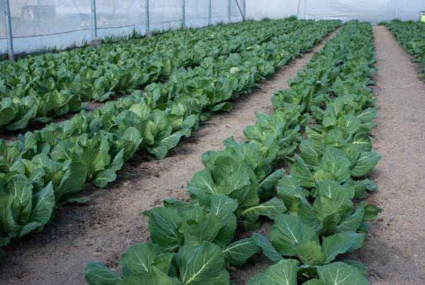 грядка выращивания капусты
