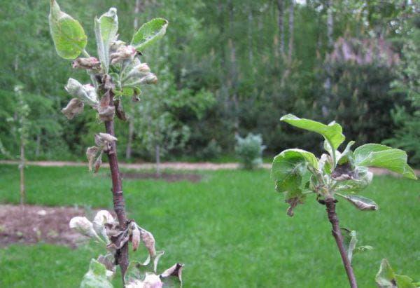 мучнистая роса у груши