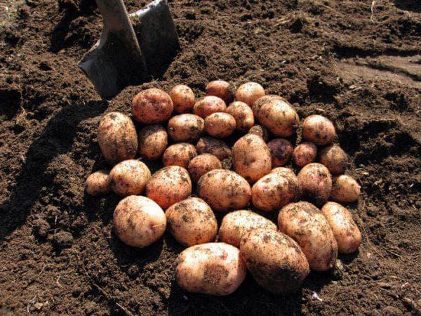 картофель Резерв