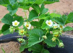 борная кислота для клубники во время цветения