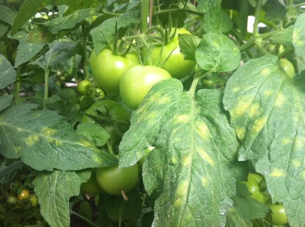 кладоспориоз томатов