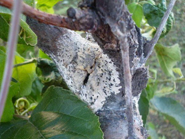 цитоспороз у груши