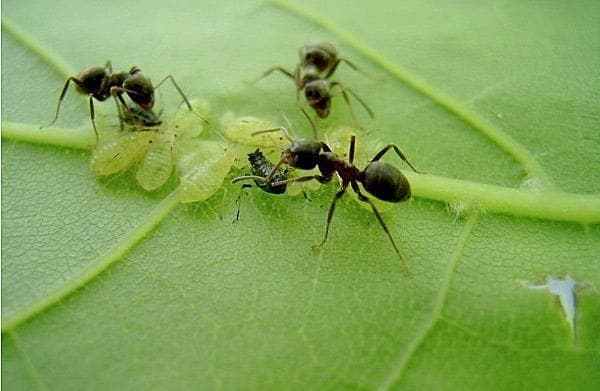 муравьи на растении