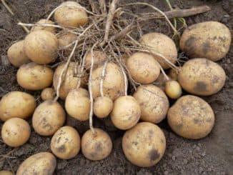 картофель удача характеристика сорта