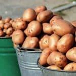 как добиться хорошего урожая картофеля