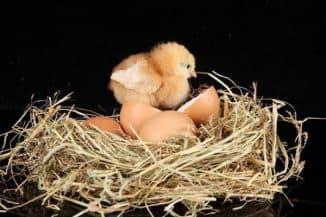 как правильно посадить курицу на яйца