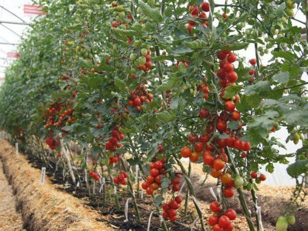 индетерминантные сорта томатов.