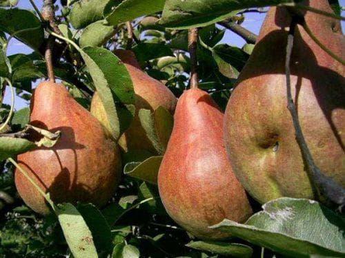 Черный рак яблони - лечение и профилактика опасной болезни