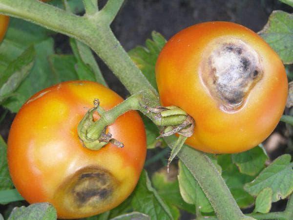 фомоз на помидорах