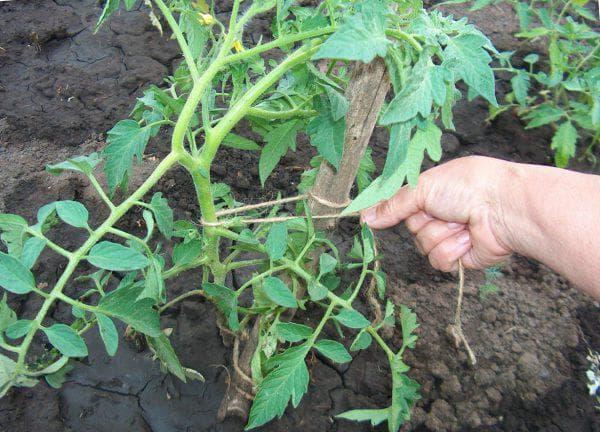 подвязка помидор к опоре