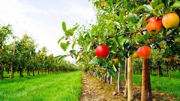 Сорт яблок Розовый Жемчуг: отзывы садоводов, фото