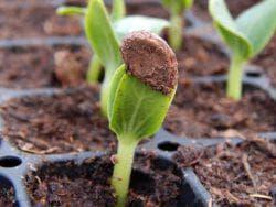 семена арбуза в грунт